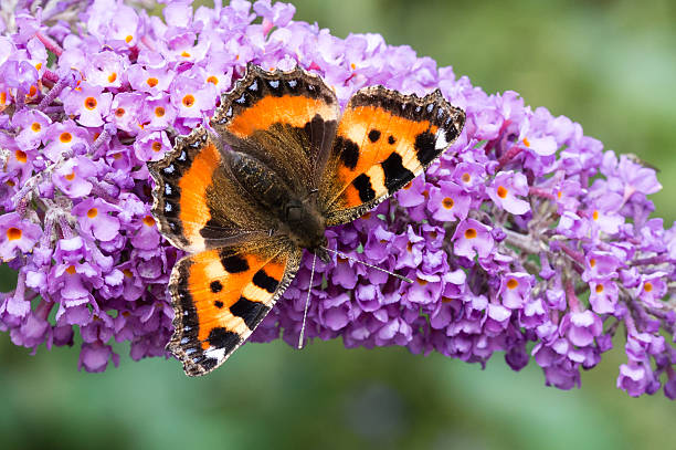 Small Tortoiseshell butterfly on Buddleia flower stock photo
