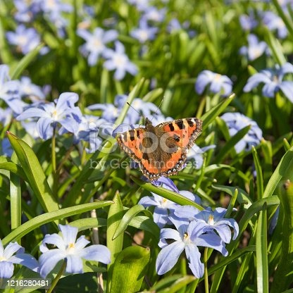 Small Tortoiseshell (Aglais urticae) butterfly on Chionodoxa forbesii (Glory of the snow) - Gentian blue flowers with white centres flowering in springtime, England, United Kingdom