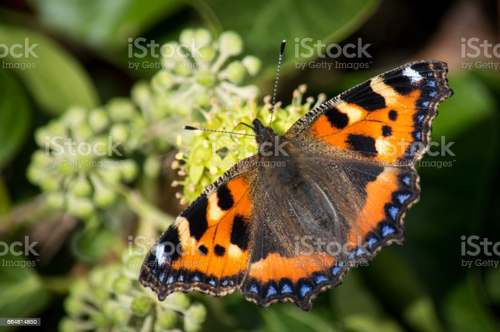 Small tortoiseshell butterfly on ivy stock photo