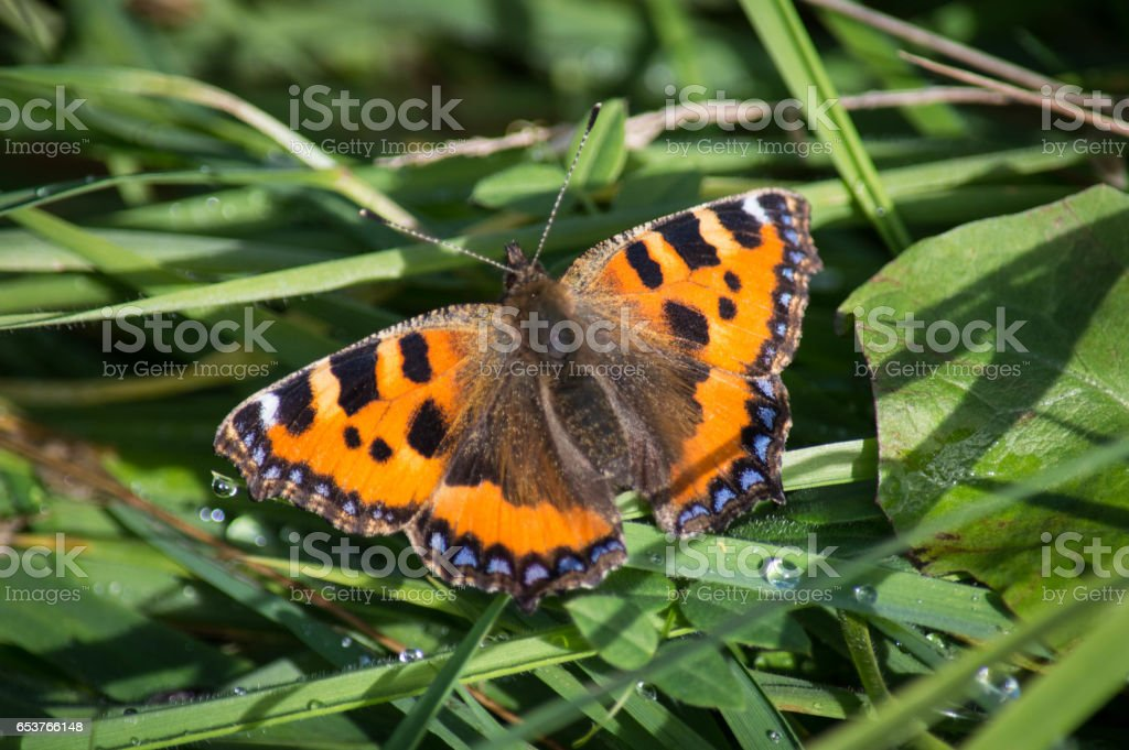 Small Tortoiseshell butterfly on wet grass stock photo