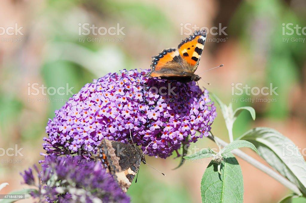 small tortoiseshell butterfly royalty-free stock photo