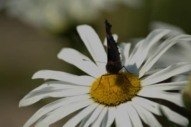 Borboleta de tartaruga pequena polinizando uma flor de margarida - foto de acervo