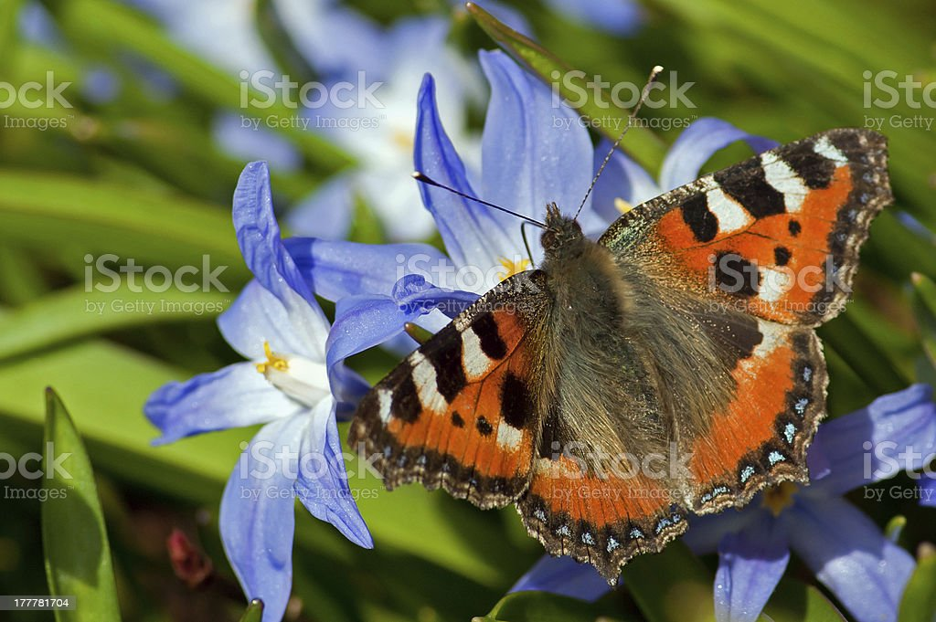 Small Tortoiseshell meets Siehe's Glory-of-the-Snow stock photo