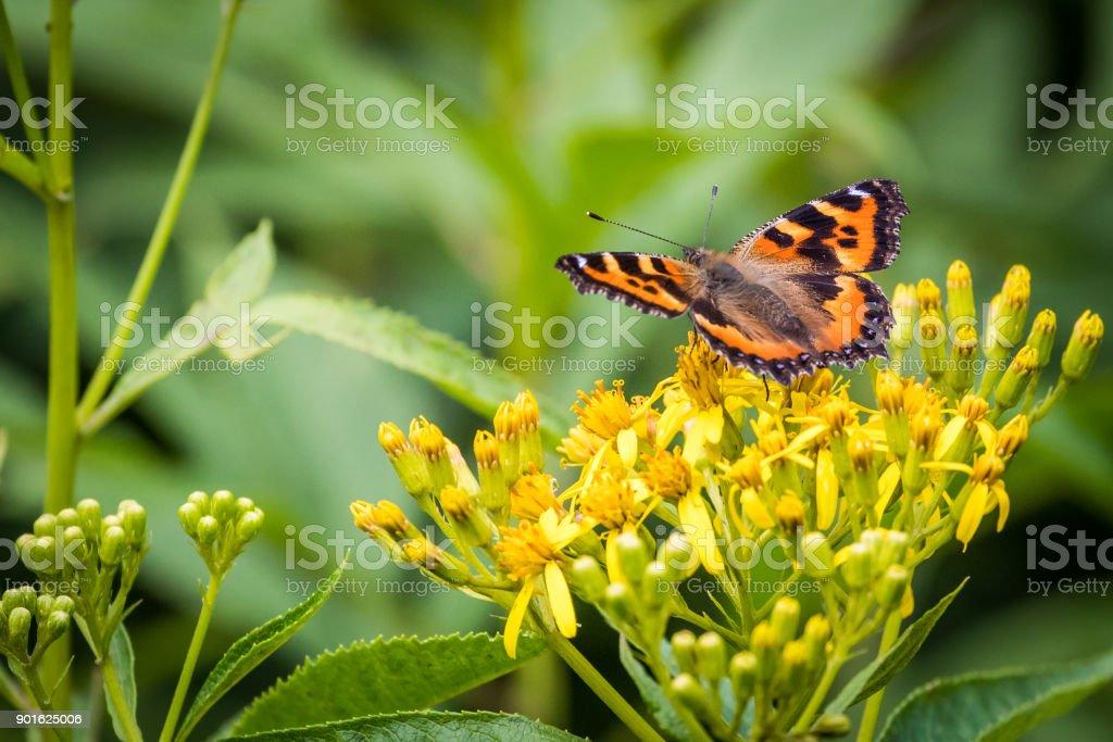 Small Tortoiseshell on Yellow Wildflowers stock photo