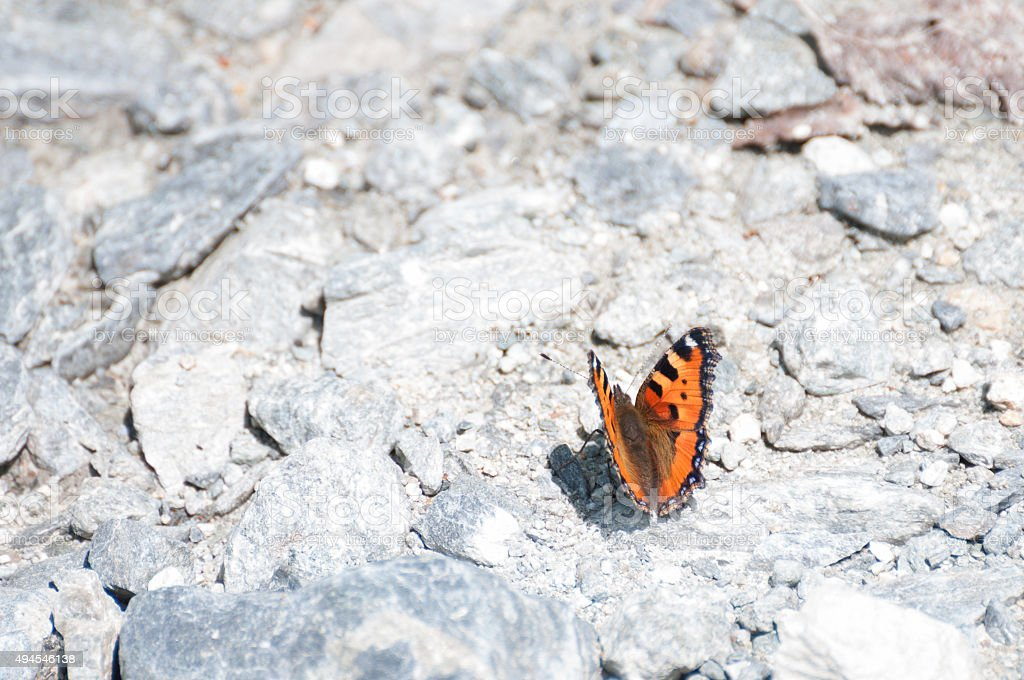 Small Tortoiseshell, orange butterfly (Nymphalis urticae) threatened with extinction stock photo