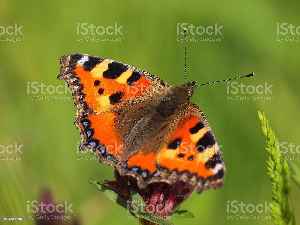 Small Tortoiseshell with green background stock photo