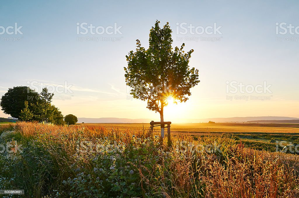 Small tree at sunset during summertime royalty-free stock photo