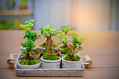 small tree on wooden floor, Small bonsai tree in the Earthenware.