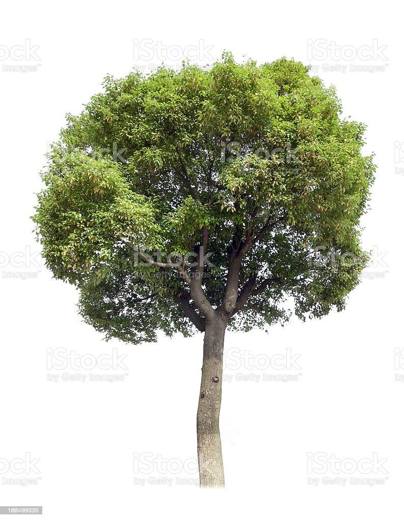 Small tree(Camphor) royalty-free stock photo