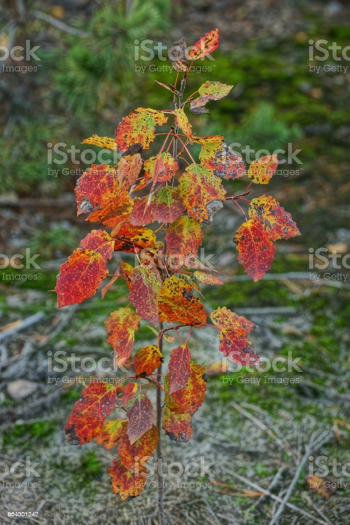 A small tree with small colored leaves in an autumn forest royalty-free stock photo