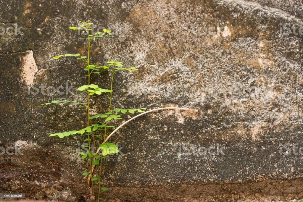Small tree-during the growth on cement wall-vintage themes.Plant on old wall.Thailand. stock photo