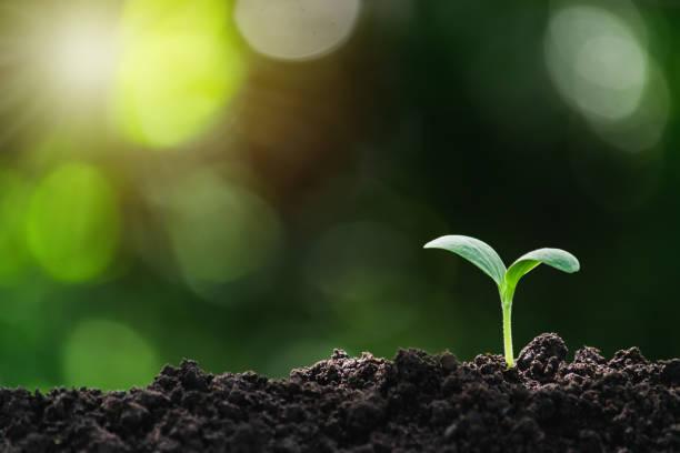 小樹生長在地面上,在柔軟的綠色自然背景下是不完整的。 - 幼苗 個照片及圖片檔