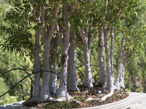 Small Trees Bonsai Stock Photo Download Image Now Istock