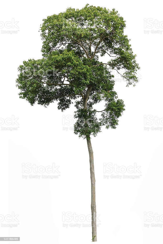Small tropical tree on a white background stock photo