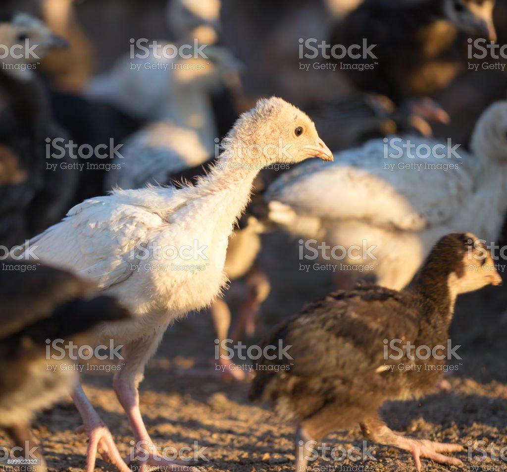 small turkey chickens graze on the farm stock photo