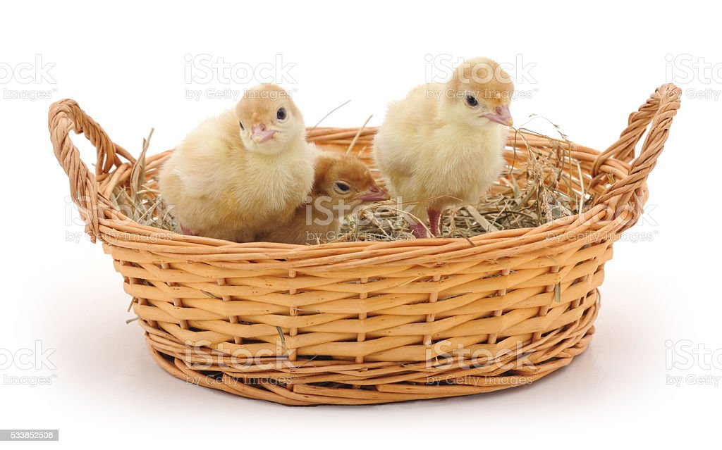 Small turkey poults in basket. stock photo