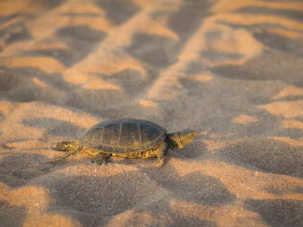 eine kleine schildkröte kriecht auf dem sand am meer. - babyschildkröten stock-fotos und bilder