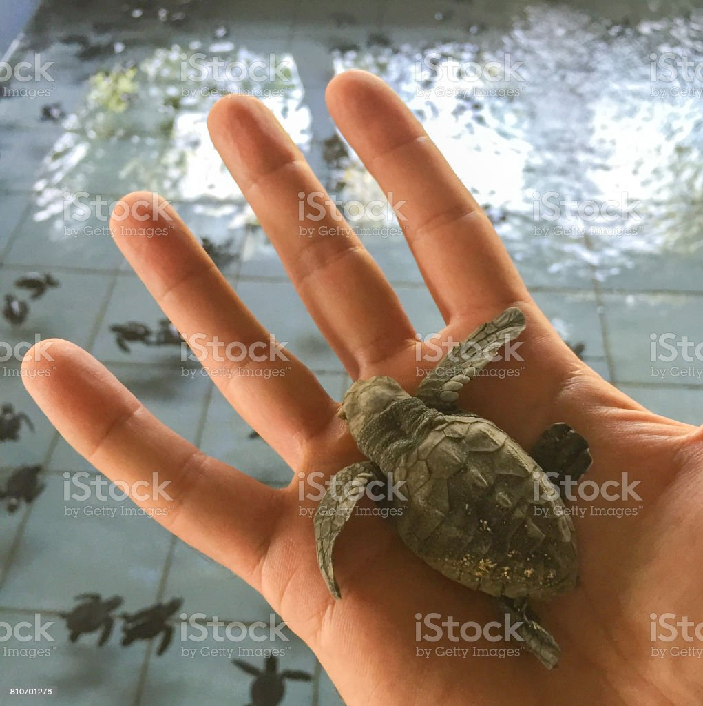 Small turtle in the man's hand. Sea turtle hatching. stock photo
