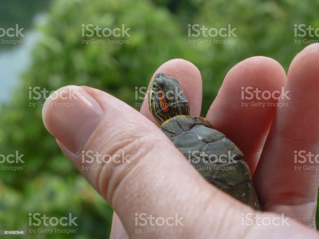 Petite tortue sur un coup de main avec les feuilles et sur le fond de l'eau - Photo