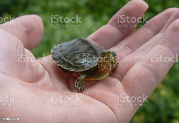 Small turtle on a hand with leaves on the background picture id824592970?b=1&k=6&m=824592970&s=612x612&h=h82fktxfkcch0hrywpngusu8yhne dccwon1dbvp9mm=