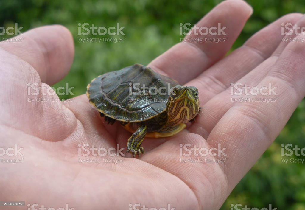 Small turtle on a hand with leaves on the background stock photo