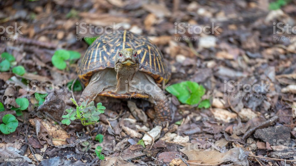 Small Turtle with Red Eyes Looking Straight at the Camera - Royalty-free Animal Foot Stock Photo
