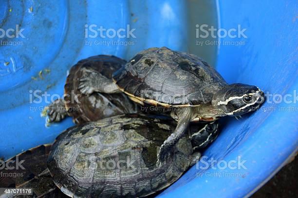 Small turtles in the vessel picture id487071176?b=1&k=6&m=487071176&s=612x612&h= t7cft5comaaawxwv7nj 81 mrwjejxsiwssbck6q5i=
