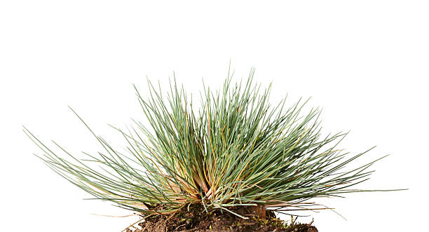 Small tussock of wild grass stock photo