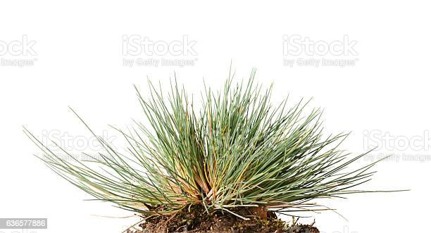 Photo of Small tussock of wild grass