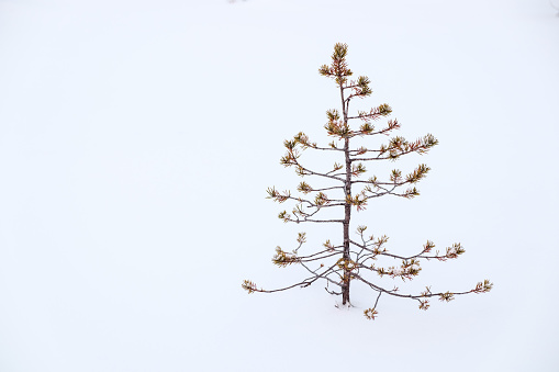 Small ugly pine alone in snow. Loneliness concept