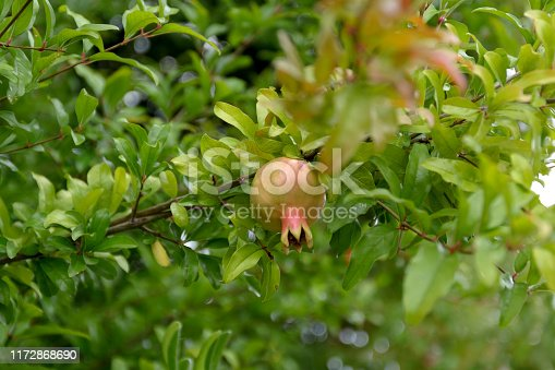 Small unripe wild pomegranate on a tree against a background of green foliage.