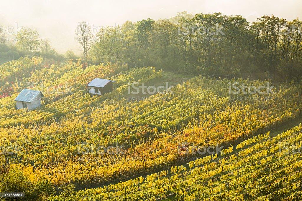 Small vineyard in Moravia, Czech Republic. stock photo
