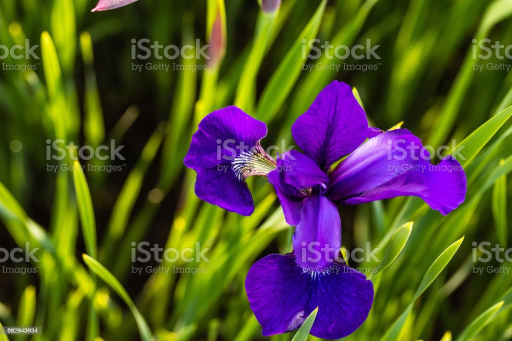 small violet iris blossom opens up royalty-free stock photo