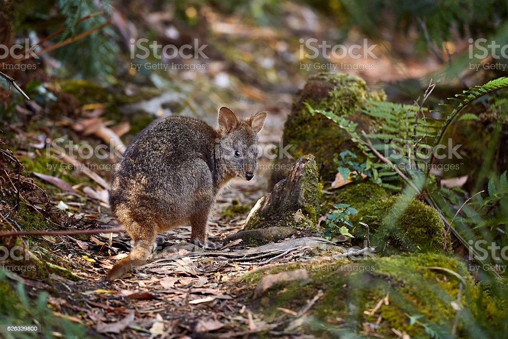 Small Wallaby In The Forest stock photo