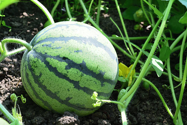 small watermelon growing in the garden stock photo