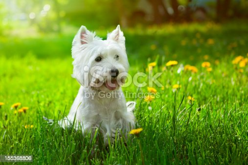 Westie outside surrounded by flowers