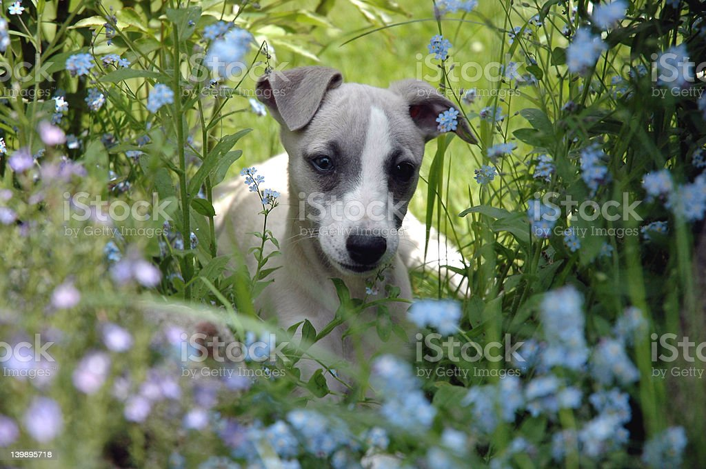 Small whippet royalty-free stock photo