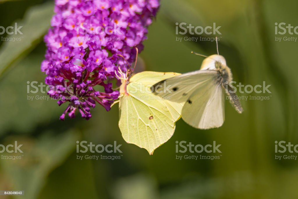 Small white (Pieris rapae) and Brimstone (Gonepteryx rhamni) butterflies stock photo