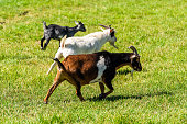 Small white and brown black goats walking side view with beards on green grass in Montrose, Colorado summer cute adorable farm animals closeup