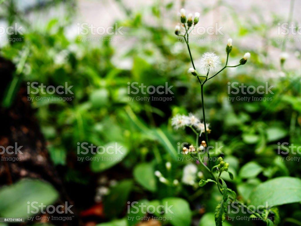 Photo De Stock De Pousse De Shoot Fleur Herbe Petite Boule Blanche
