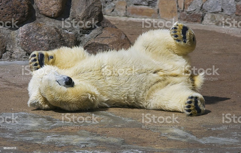 Small white bear cub royalty-free stock photo