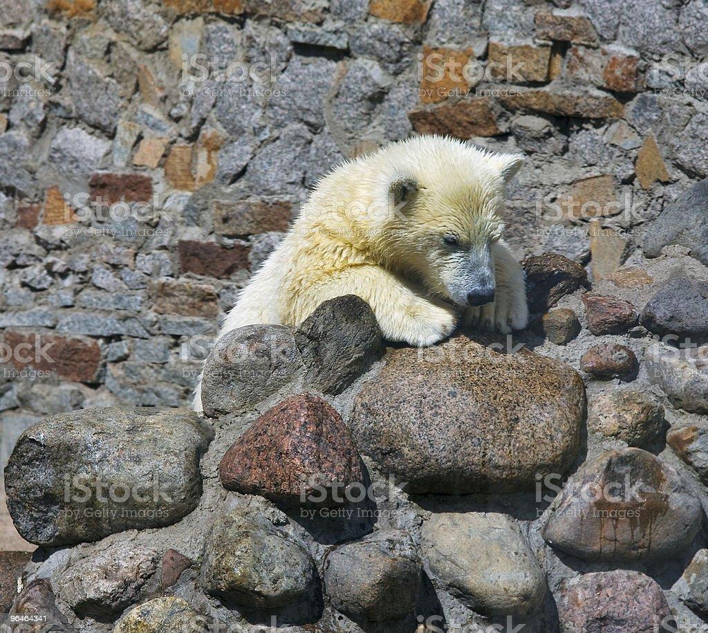 Small white bear cub royalty-free stock photo
