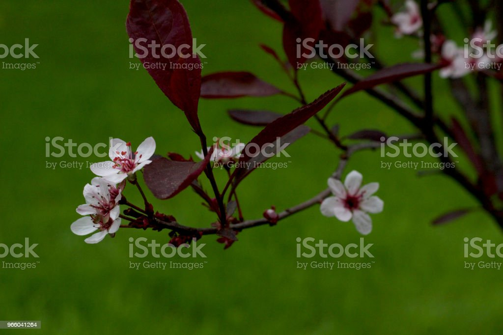 Small white blossoms emerging on a single branch of a Purple Leaf Sand Cherry bush - Royalty-free April Stock Photo