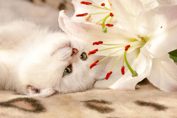 A small white British cat with green eyes lies upside down on the couch and sniffs a Lily flower stock photo