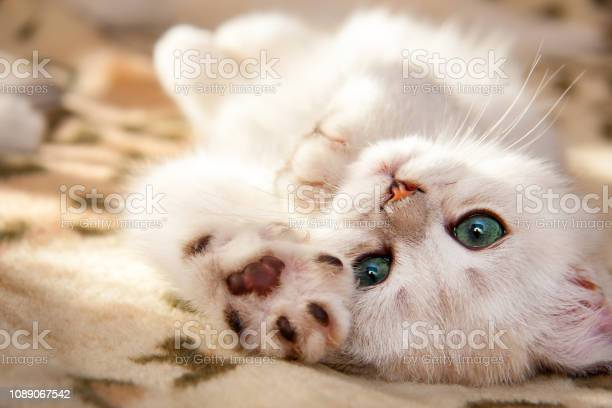 Small white british kitten lies upside down picture id1089067542?b=1&k=6&m=1089067542&s=612x612&h=k m7cmz0  mgzrqj hwwywncdz vijphyofg06o0yvw=