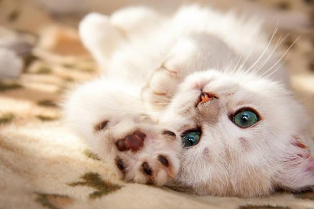 A small white British kitten lies upside down stock photo