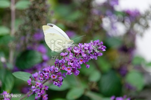 Small White Butterfly on Butterfly Weed