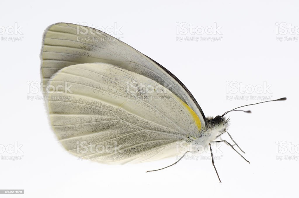 small white butterfly royalty-free stock photo