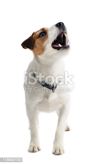 A Jack Russell / Parson Russell Terrier