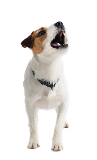 Small white dog barking picture id1133007752?b=1&k=6&m=1133007752&s=612x612&w=0&h=r6cky yyesmpsqdxlask oxmqljfzf8adoj5ekxqyhe=